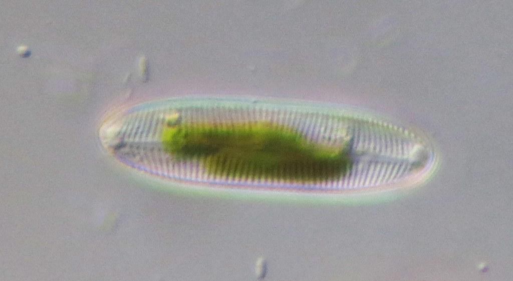 diatomée dans une piscine
